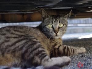 「猫バンバン」だけじゃダメ! JAFが呼びかけ「猫が車に入り込んだことによるトラブル」の救援要請件数は1か月で22件