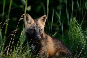【超稀少動物】アイヌの人々に神と崇められた「十字狐」!