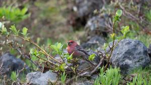 真紅に輝く野鳥界の大スター! 冬の北海道では街中でも見られます