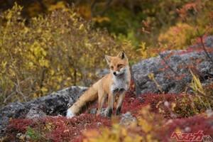 これがキタキツネの本性! 紅葉の大雪山で殺気を放つ美しきハンター